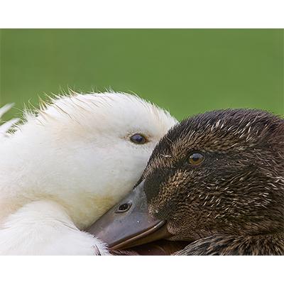 TwoDucks.jpg