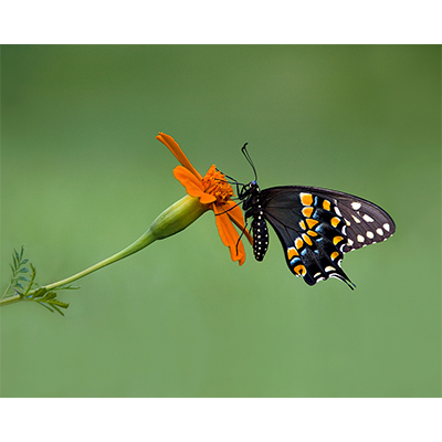 BlackSwallowtail.jpg
