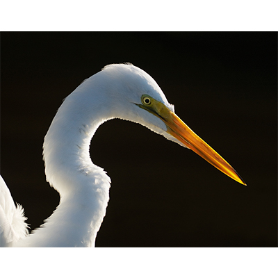 GreatEgret2.jpg