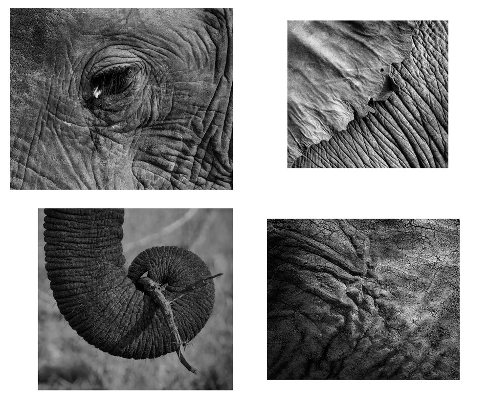 panel of 4 olifants.jpg