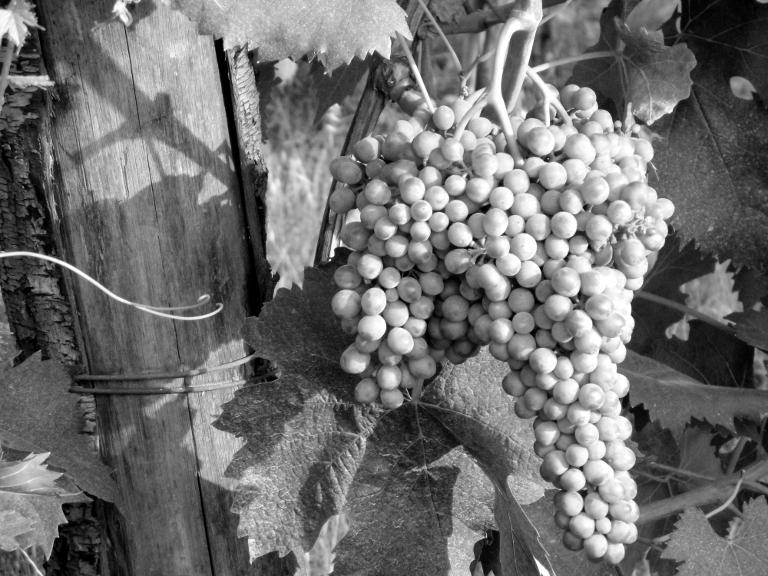 Sangiovese Grosso - Greve in Chianti