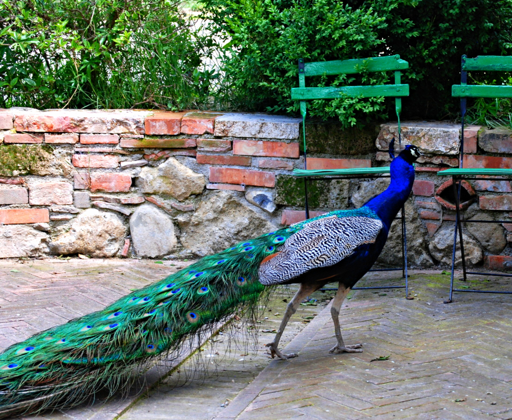 Have You Ever Met a Peacock