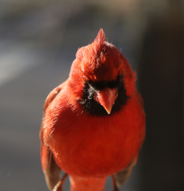 Male Cardinal, STL 2016