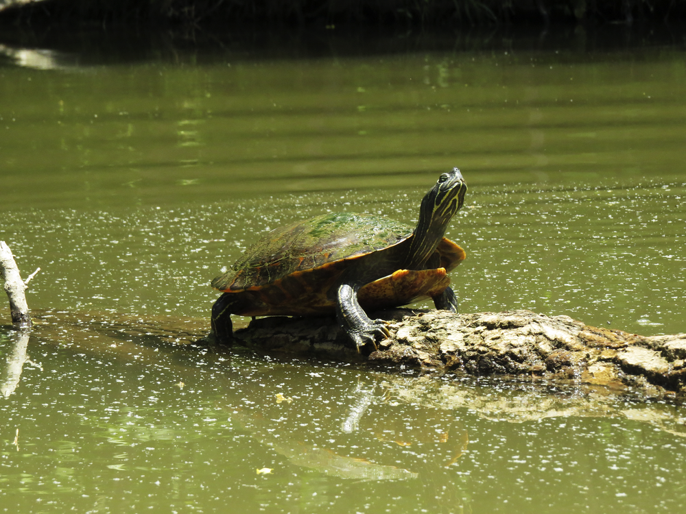 turtle water maryland nature animals
