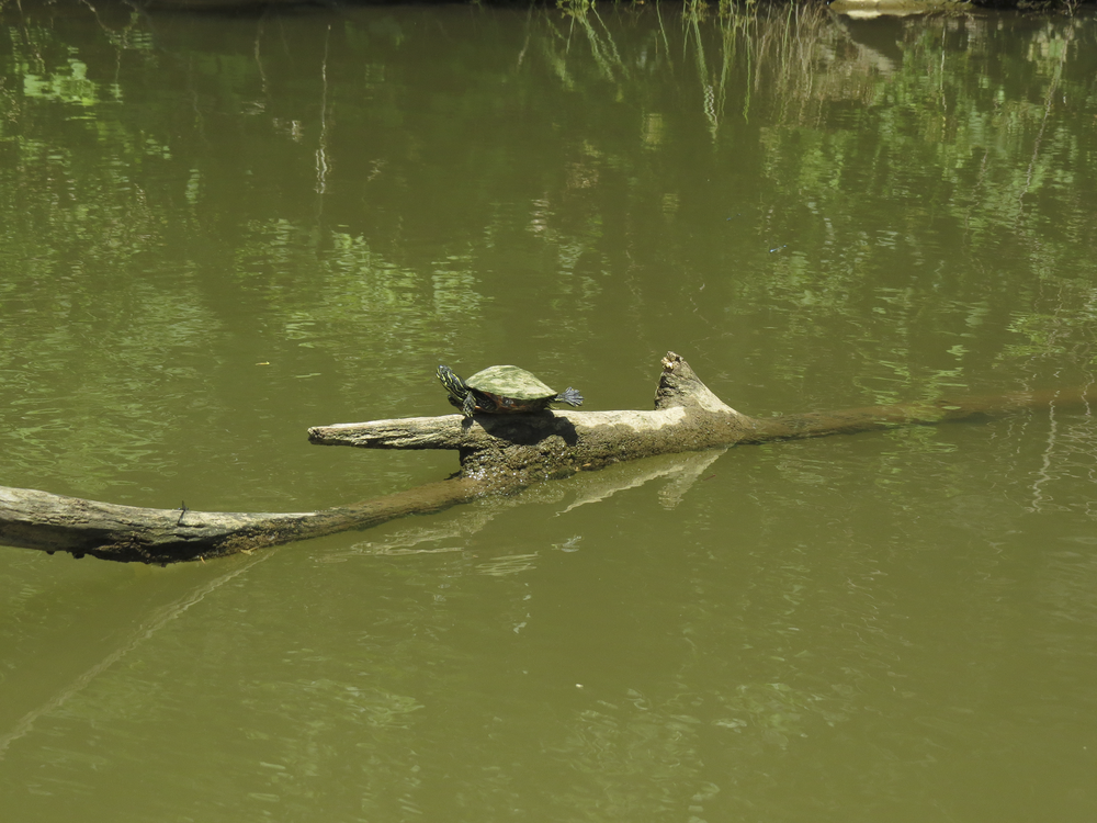 turtle-maryland-water-nature-outdoors-kayaking