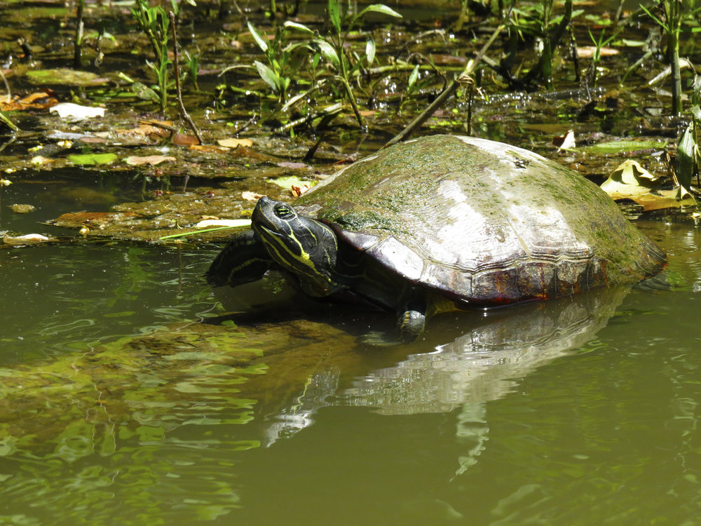 turtle-animals-kayaking-maryland-water-nature-outdoors-c&o-canal-potomac-river