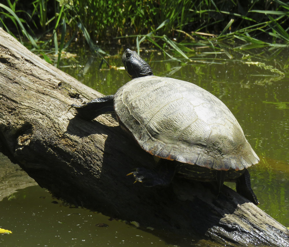 turtle-kayaking-maryland-water-nature-outdoors-c&o-canal-potomac-river