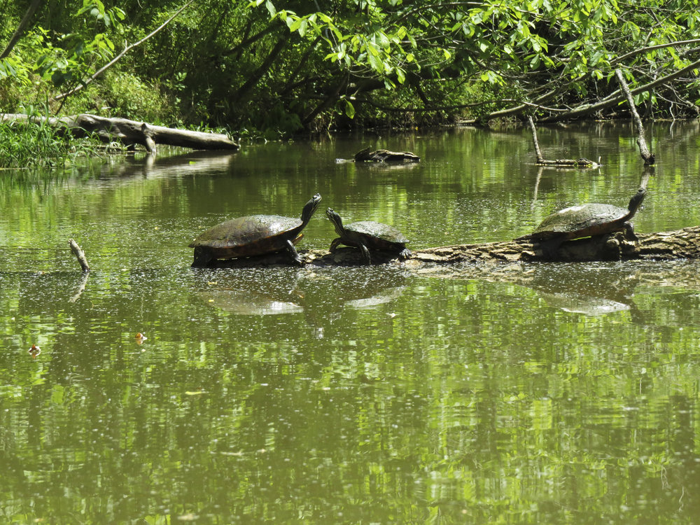 turtles-kayaking-maryland-water-nature-outdoors-c&o-canal-potomac-river