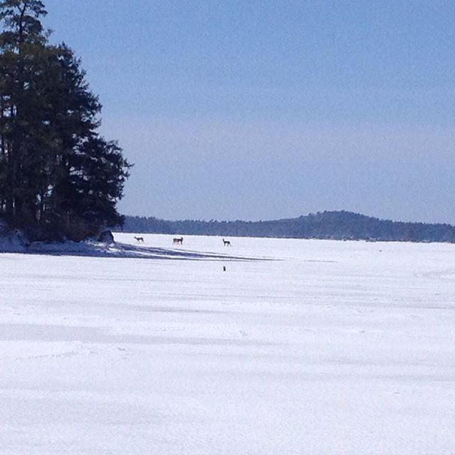 Throwback to a year ago +/- (3.24.2015) when the #deer and the ice fisherman freely roamed the frozen lake; Ice out 2016 declared 3/18 #throwback #lakewinnipesaukee #winnipesaukee #moultonborough  #iceout2016 #iceout #newhampshire #lakesregion #meredithnh #nh #docks