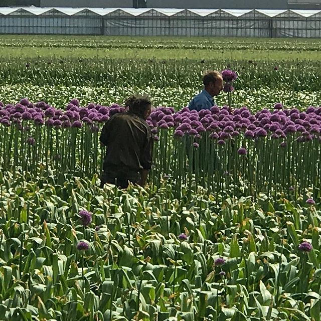 #cityofflowers #hillegom #bollenstreek #myhometown