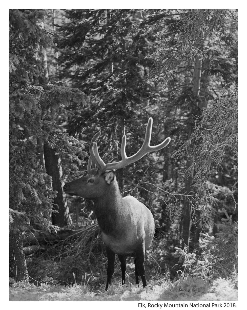 Elk wth Border1.jpg
