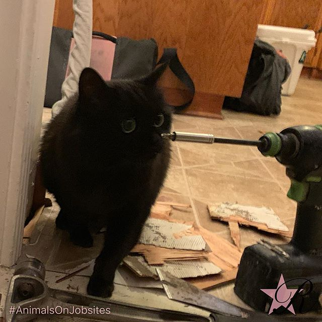Black cat Dinah was inspecting my work yesterday. This morning, my client warned there's a neighborhood cat, Ernie, that thinks they live here too. An hour later, I met Ernie.  #rockstar #remodel #animalsonjobsites #portland #demo #flooring #cat #cats #blackcat #orangecat #Festool