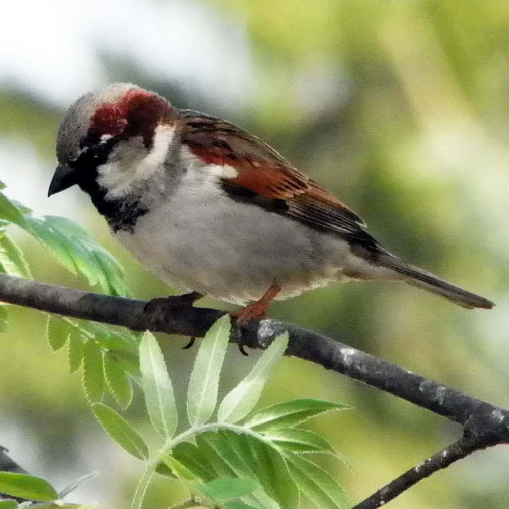 House or English Sparrow