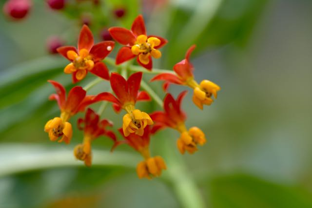 Milkweed - an important foundation plant in any monarch habitat