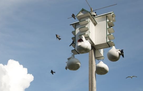 It's a party at the Purple Martin House!