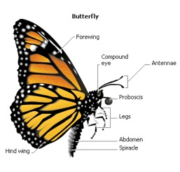 Monarch Anatomy