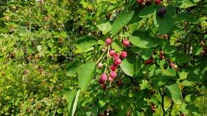 Serviceberry+fruit.jpg
