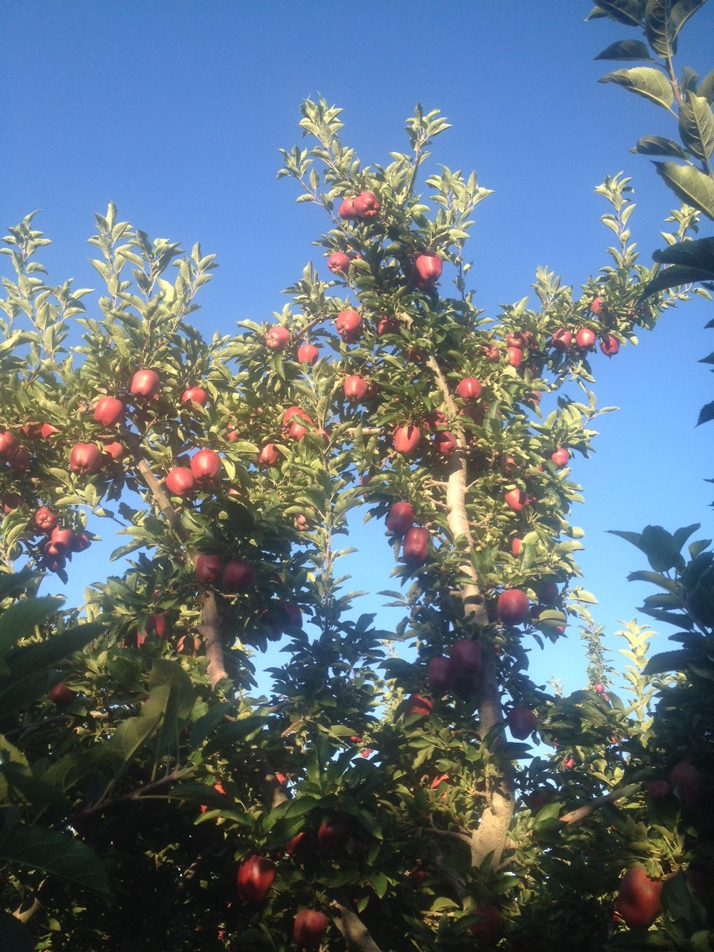 Red Delicious Apples 3 weeks before harvest