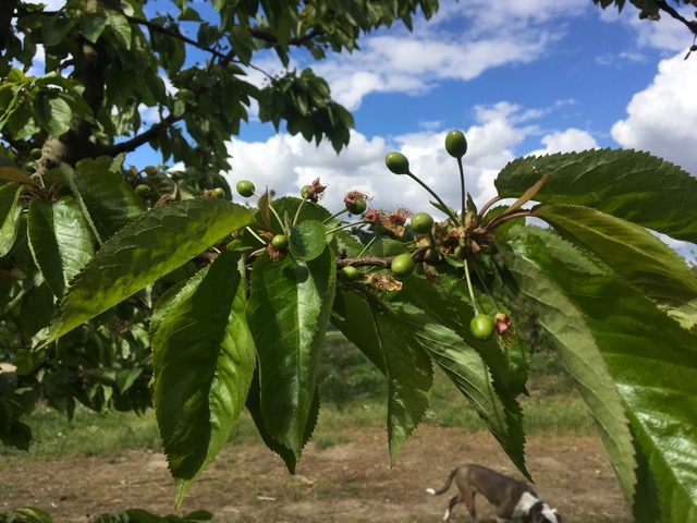 Cherries (1) 2018.JPG