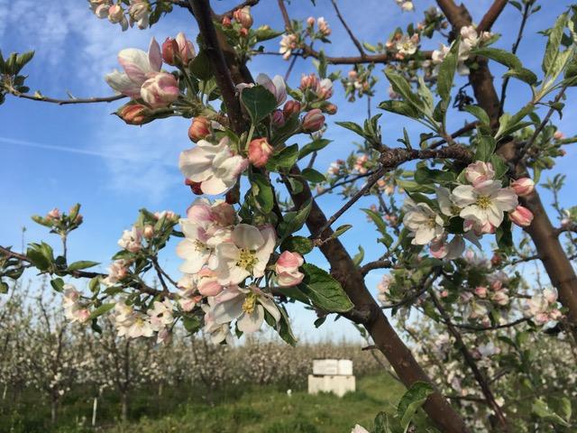 Cherry Blooms 2018.JPG