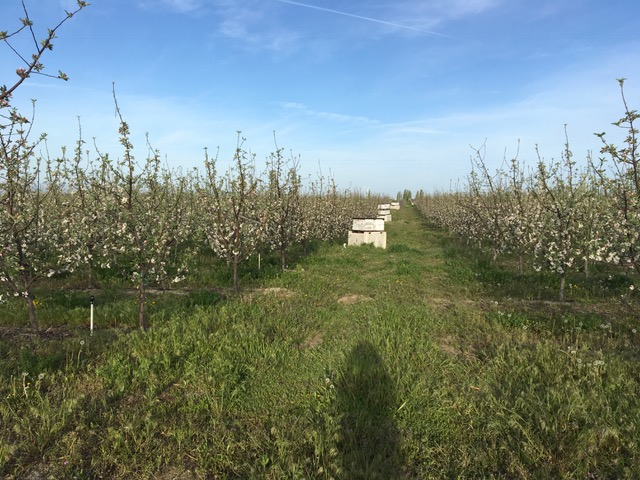 Cherry Orchard 2018.JPG