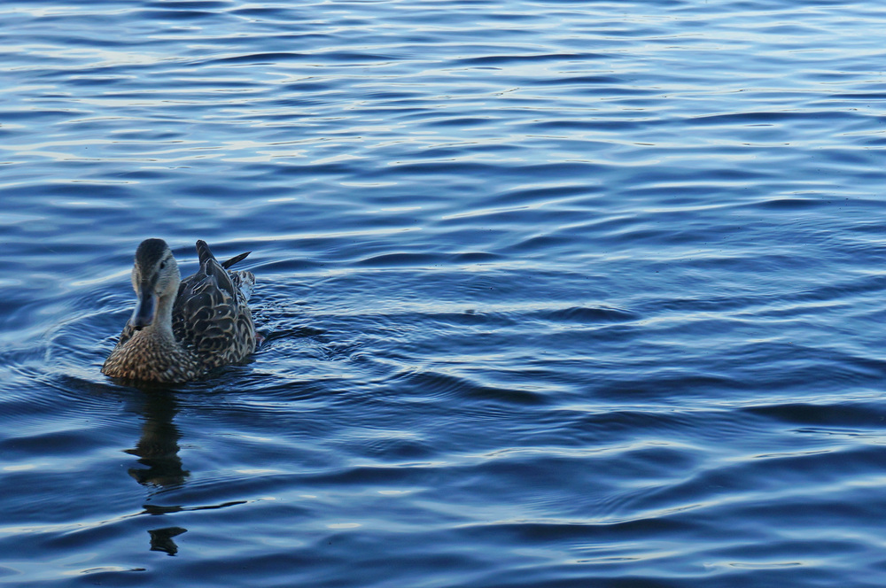 Duck on Penn Lake