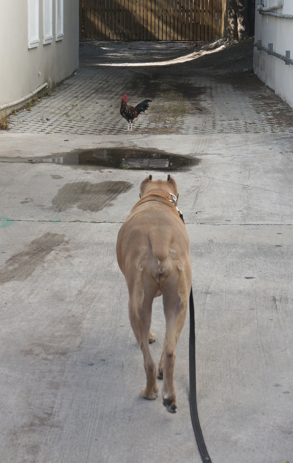 Key West Rooster and a Cane Corso
