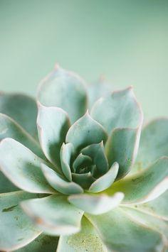 Celadon Succulent