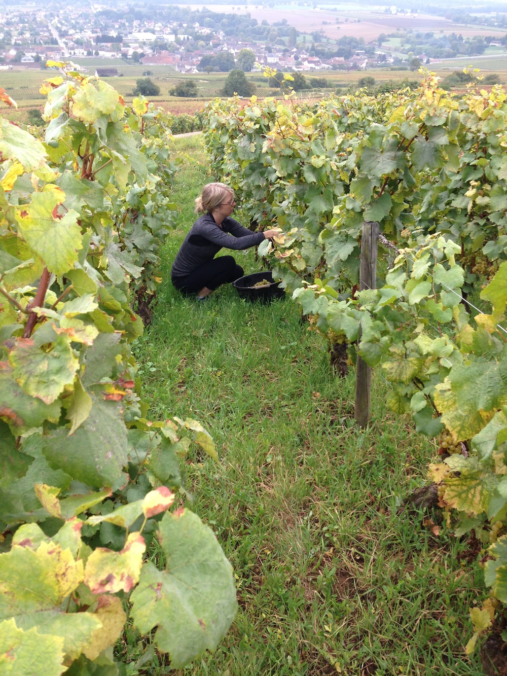 The author picking Grand Cru Corton Blanc