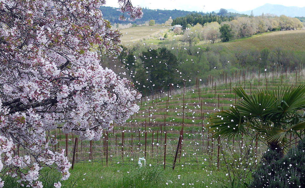 Spring in the Green Valley at Iron Horse Vineyards