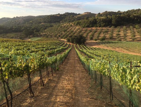 Harvest means early mornings in the vineyards- CCA worked alongside Stephy Terrizi at the Broadside vineyard to help prep for the harvest