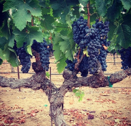 Merlot clusters from Hourglass vineyards