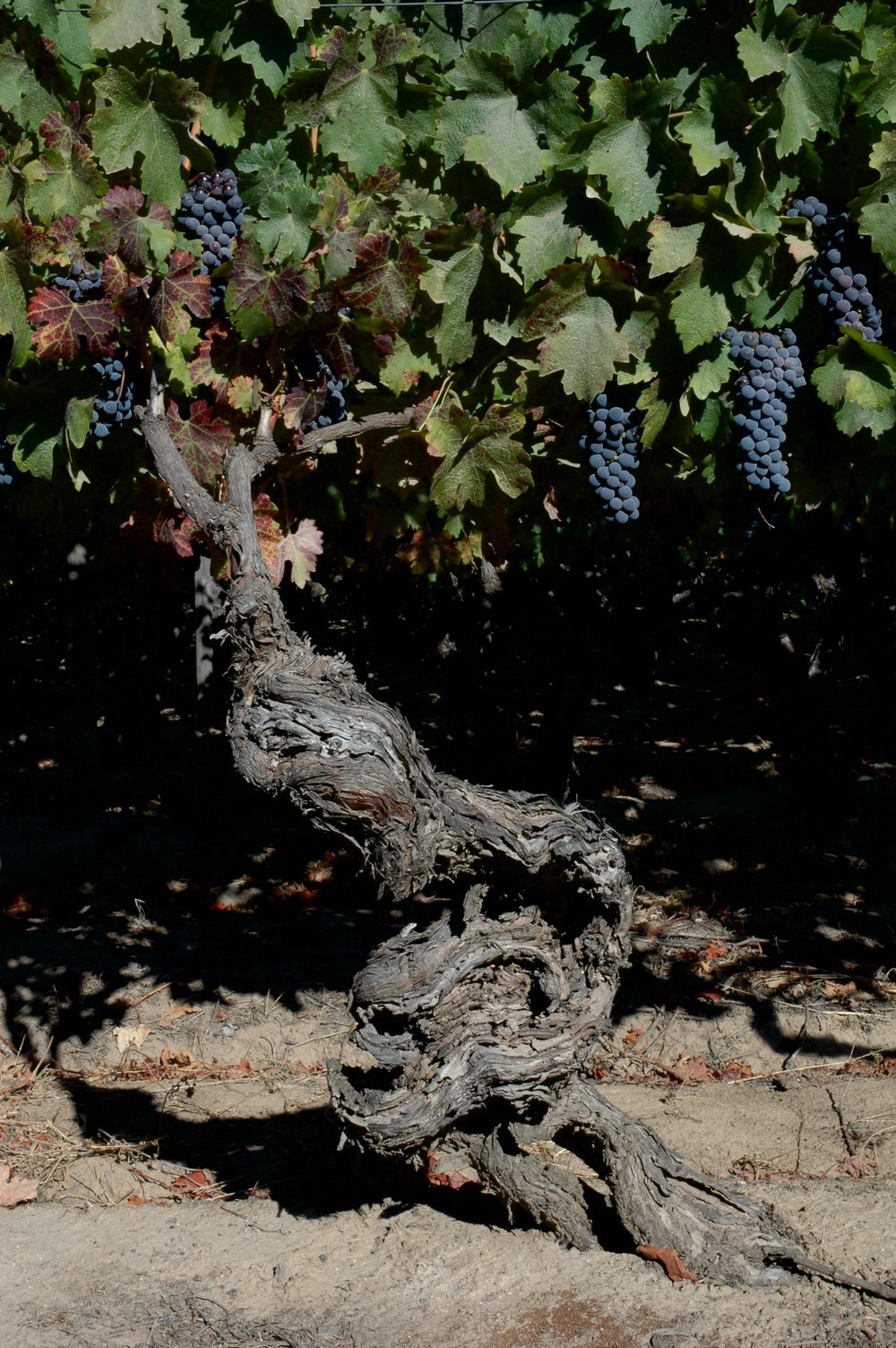 Old vines from the Neyen vineyards in the Apalta Valley of central Chile.
