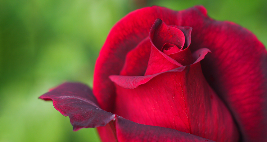Wine, Roses & the Science of Aroma