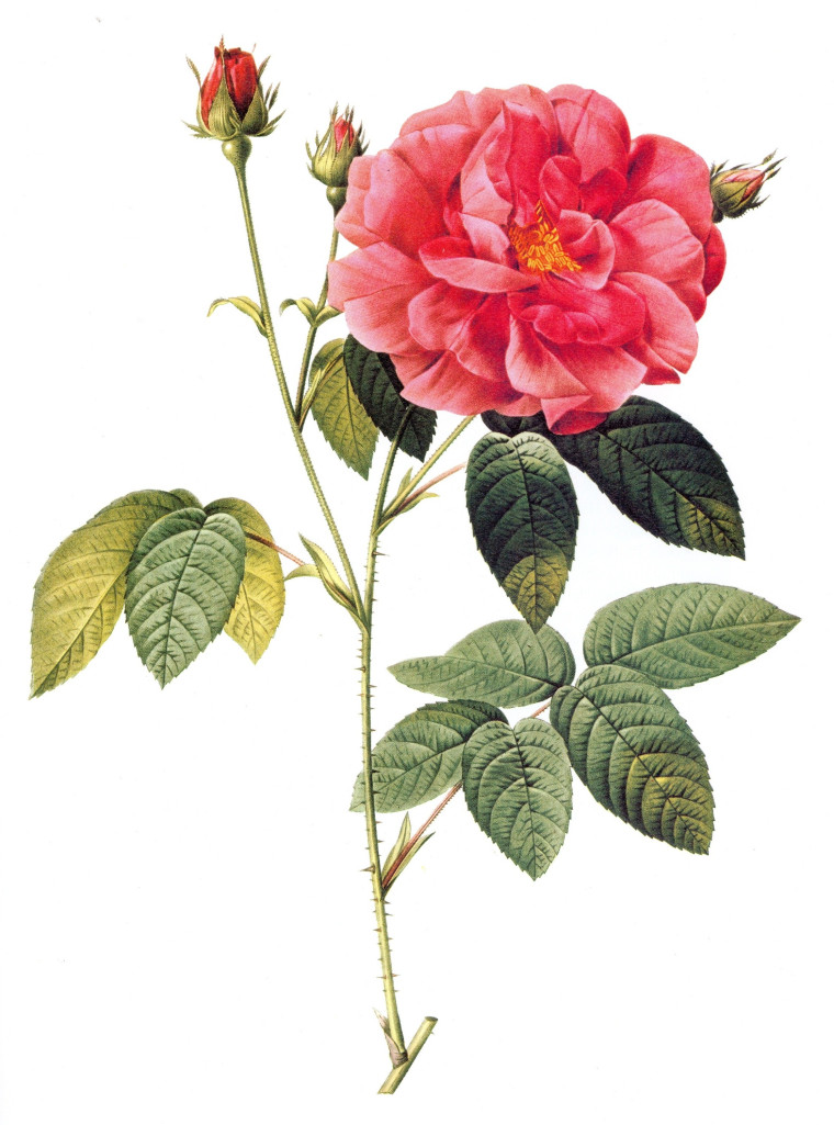 Naturalist's illustration of the rosa gallica. Image courtesy of jimtheobscure.com.