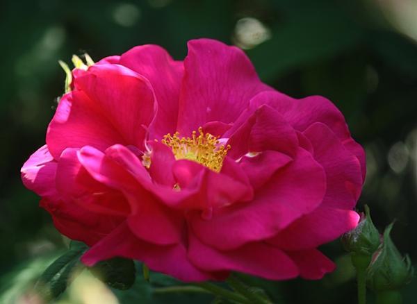 The  rosa gallica officinialis . Photo courtesy of das pflanzen forum.