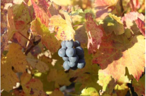 Gamay grapes. Photo courtesy of Georges Duboeuf.
