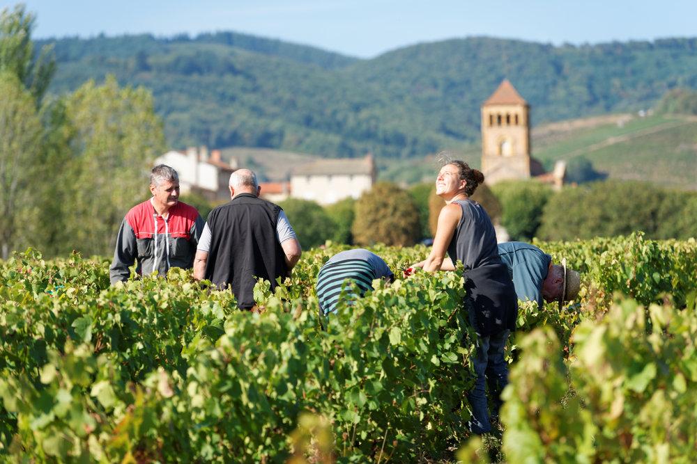 The 2016 Beaujolais harvest. Photo courtesy of Georges Duboeuf.