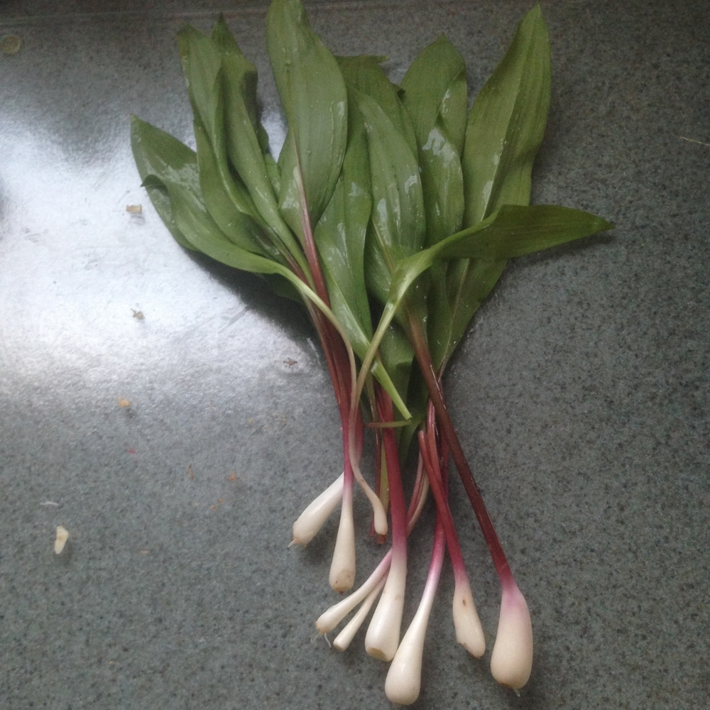 Pictured here are Whole Ramps cleaned and ready for processing into food.