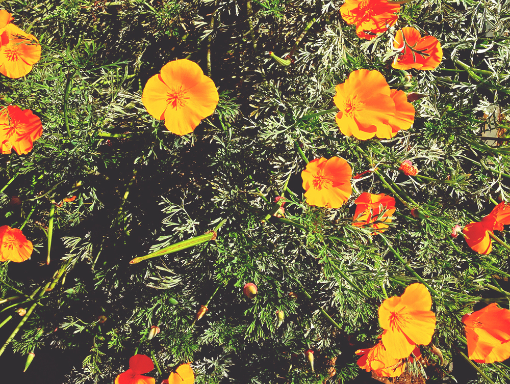 california poppies | san francisco | Girl Goes Rad