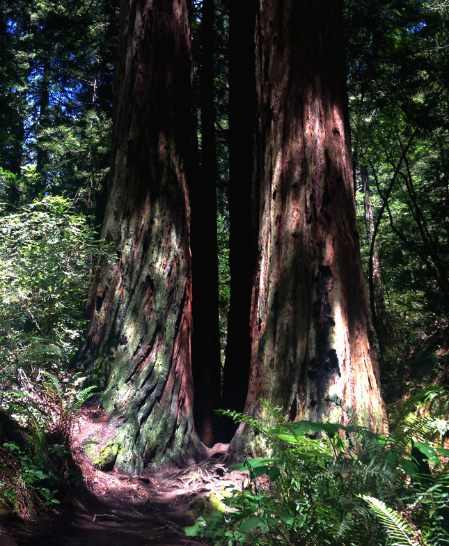 Redwood Trees Mt Tam State Park