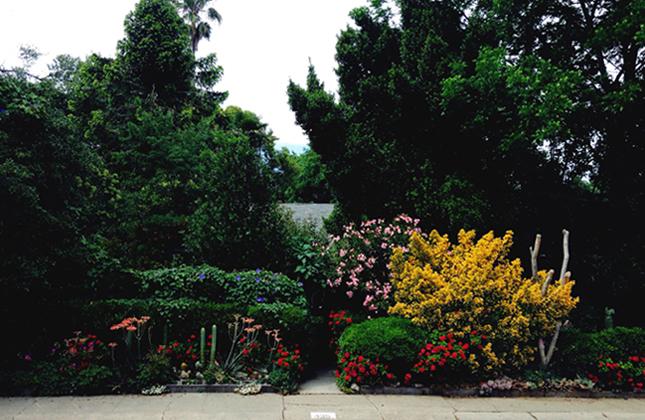 Davis California Garden Blooms