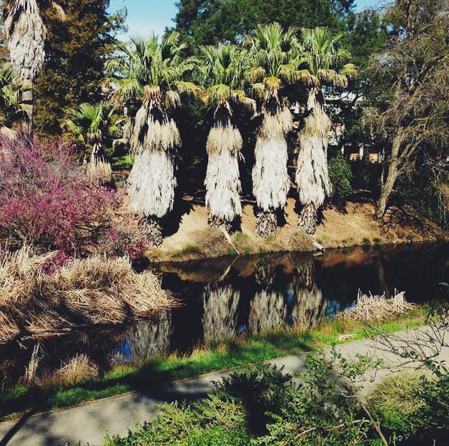 UC Davis Arboreum Palm Trees