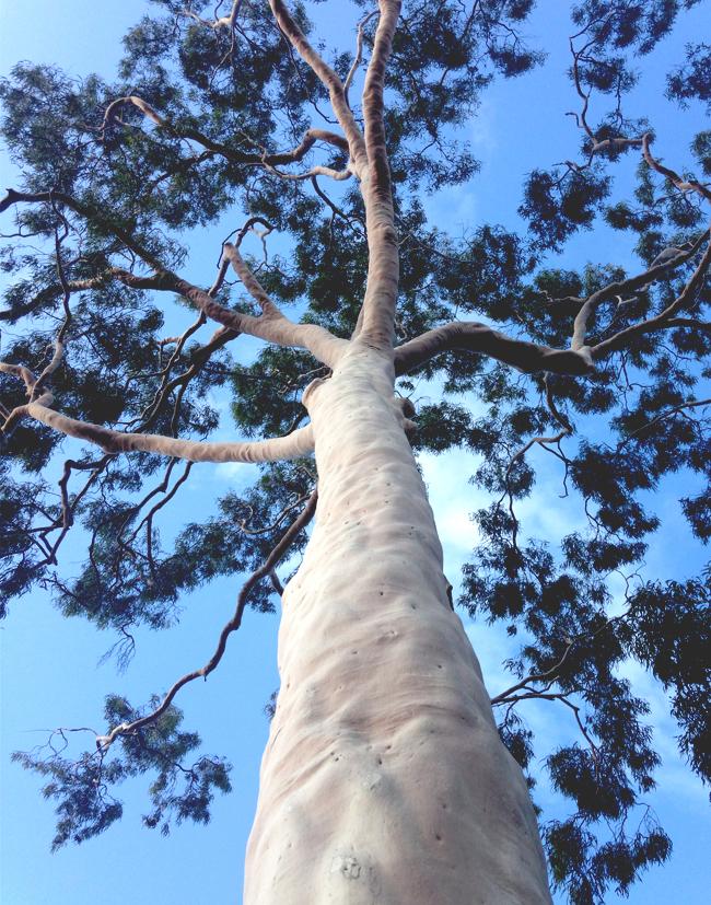 White Gum Tree Mosman Park Perth Australia