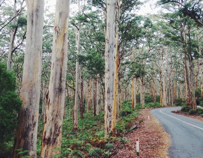 Karri Forest Margaret River Roadtrip Western Australia