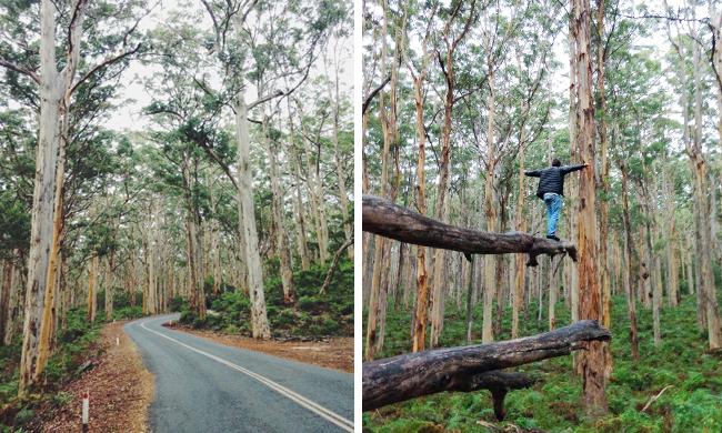 Boranup Karri Tree Forest Western Australia Walking Tour