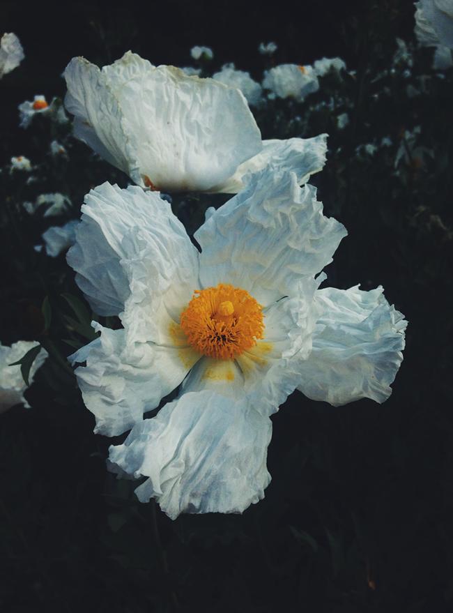 california running views | giant white flowers in the UC Davis Arboretum