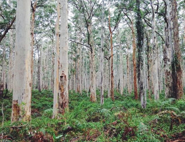 Boranup Karri Tree Forest, Western Australia