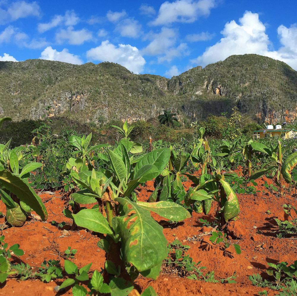 Tobacco Plantation, Vinales Cuba