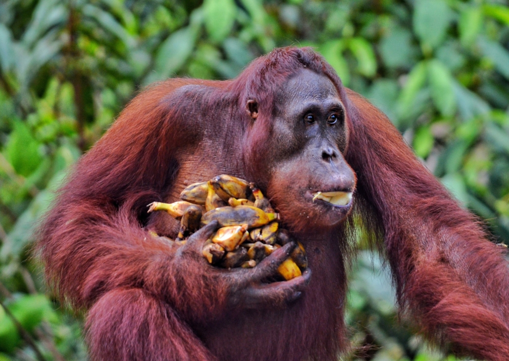 orangutan banana thief borneo indonesia